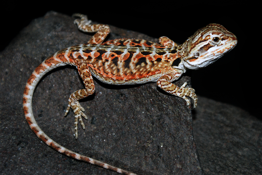 tiger bearded dragon breeders